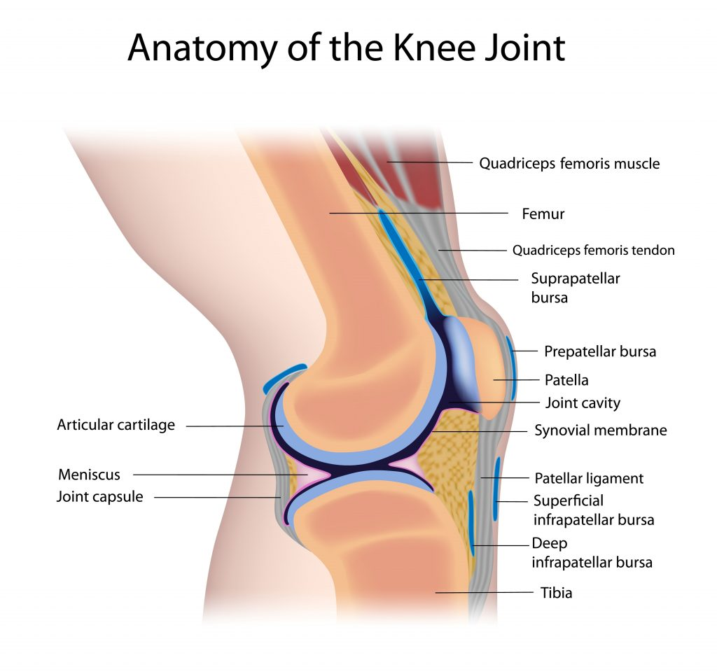 The knee joints