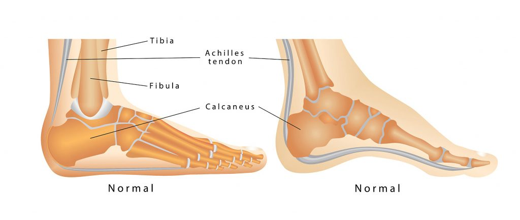 anatomy of the heel